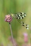 fjärilsnaturnemoptera Fotografering för Bildbyråer
