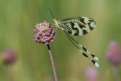 fjärilsnaturnemoptera Arkivbilder