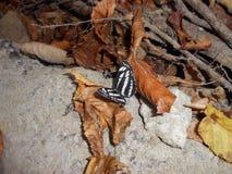 FjärilsNeptis rivularis arkivfoto