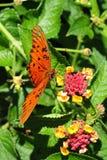 fjärilsoletaorange Fotografering för Bildbyråer