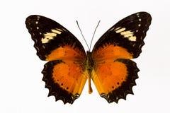 fjärilsorange Fotografering för Bildbyråer