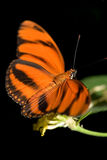 fjärilsorange Royaltyfri Fotografi