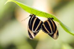 fjärilsorangetiger Arkivfoto