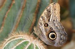fjärilsowl Arkivfoto