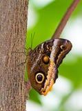 fjärilsowl royaltyfri bild