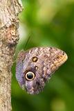 fjärilsowl fotografering för bildbyråer