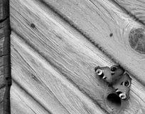 fjärilspåfågel Royaltyfri Fotografi