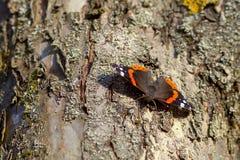 Fjärilspåfågelsammanträde i ett träd, närbild royaltyfria bilder