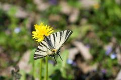 FjärilsPapilio machaon, gemensamt vitt swallowtailanseende på den gula blomman royaltyfri bild