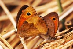 fjärilspar Arkivfoto