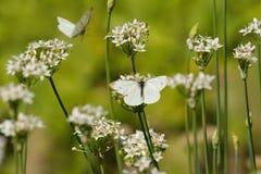 FjärilsPieridae, vita kryp på vita blommor av vitlök Arkivfoto