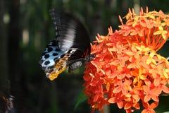 fjärilspollen Arkivfoto