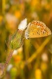 FjärilsPolyommatus Icarus sammanträde på en blomma Fotografering för Bildbyråer