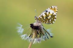 FjärilsPontia edusa på en maskrosblomma arkivfoton