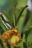 FjärilsPsychopsisorkidé Arkivfoton