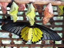 Fjärilspuppor Arkivfoton