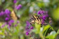 Fjärilssammanträde på en blomma Fotografering för Bildbyråer