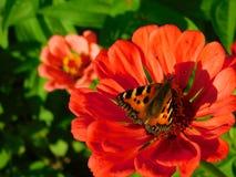 Fjärilssammanträde på en färgglad blomma Fotografering för Bildbyråer