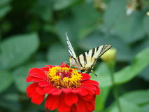 Fjärilssammanträde på en flowe royaltyfri foto