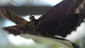 Fjärilssammanträde på en grön leaf Ram Makro av batterfly stock video