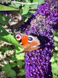 Fjärilssammanträde på en purpurfärgad blomma royaltyfri fotografi