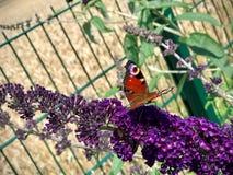 Fjärilssammanträde på en purpurfärgad blomma royaltyfria bilder