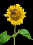 Fjärilssammanträde på en solros på en svart bakgrund Royaltyfri Foto