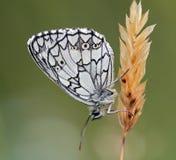 fjärilssatyrid Arkivfoton