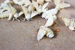 Fjärilssilkworm Fotografering för Bildbyråer