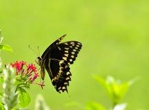 fjärilssmak Arkivfoton