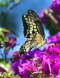 fjärilsspringtime Royaltyfria Bilder