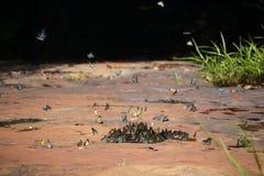 Fjärilssvärmen äter mineraler Royaltyfri Fotografi