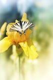 Fjärilsswallowtail på den gula blomman Arkivfoton