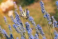 Fjärilsswallowtail på ett lavendelfält på en solig dag royaltyfri fotografi