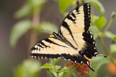 fjärilsswallowtailtiger Arkivbilder