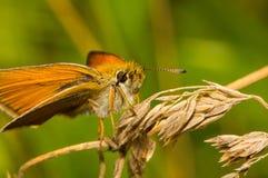 FjärilsThymelicus Sylvestris sammanträde på ett torrt gräs Royaltyfri Fotografi