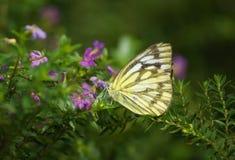 fjärilstiger Arkivfoto