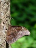 fjärilstree Fotografering för Bildbyråer