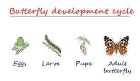 Fjärilsutvecklingscirkulering som isoleras på vit bakgrund Ägg-, larv-, puppa- och vuxen människafjäril i fött framsteg Utbildnin Arkivfoto