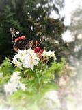 Fjärilsvanessaatalanta på vita blommor med vit hörn- och gräsplanbakgrund arkivbilder