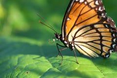fjärilsviceroy Royaltyfria Foton