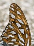 fjärilsvinge Arkivbild