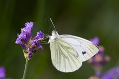 fjärilswhite Arkivfoto
