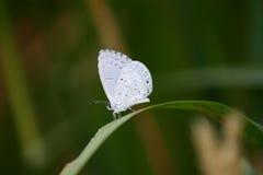 fjärilswhite Arkivfoton