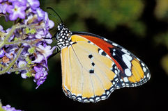 fjärilsyellow Fotografering för Bildbyråer