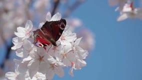 Fj?ril p? Sakura blommor arkivfilmer