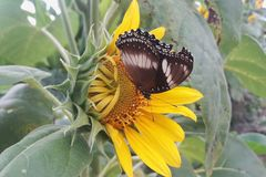 Fj?rilar p? att blomma solrosen arkivfoto