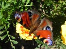 Fj?rilen veckla upp dess vingar H?rligt kryp p? en sommardag Detaljer och n?rbild royaltyfri foto