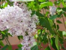 Fj?rilsVanessa cardui p? lila blommor Pollination som blommar lilor Vanessa cardui fotografering för bildbyråer