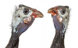 fjäderfä guinea Arkivbilder